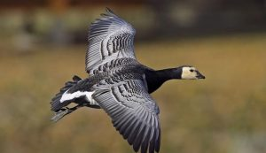Flying Barnacle Goose Photo