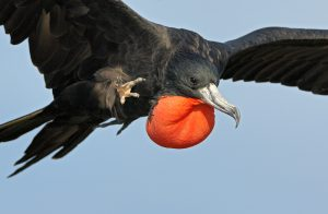 Flying Magnificent Frigate Bird Photo