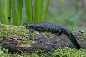 Images of Great Crested Newt