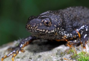 Photos of Great Crested Newt
