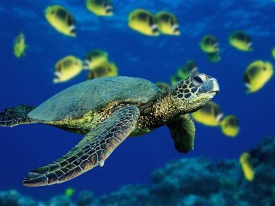 Images of Green Sea Turtle