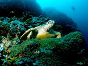 Pictures of Green Sea Turtle