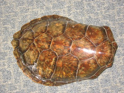Green Sea Turtle Sea Turtle Shell