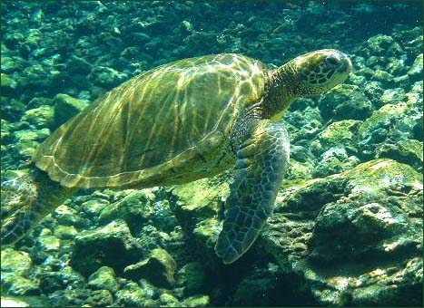 Animal on Picture 1   Green Sea Turtle