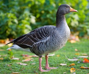 Greylag Goose Picture