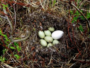 Greylag Goose Eggs Photo
