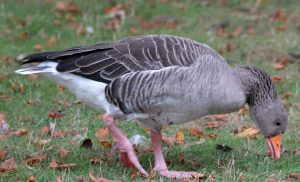 Images of Greylag Goose