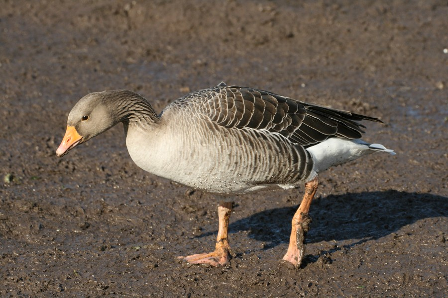 how to tell a female goose from a male goose