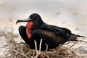 Photos of Magnificent Frigate Bird