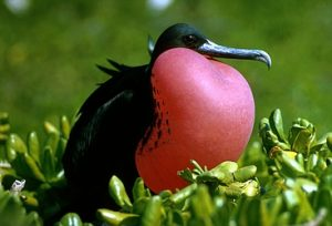 Pictures of Magnificent Frigate Bird