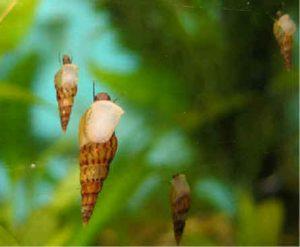 Images of Melanoides Tuberculata