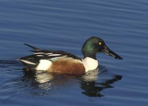 Northern Shoveler Picture