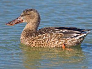 Northern Shoveler Duck (Hen) Image