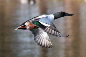 Northern Shoveler Flying Photo