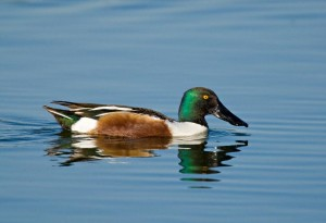 Images of Northern Shoveler
