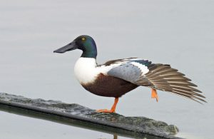Pictures of Northern Shoveler