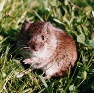 Images of Prairie Vole