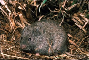 Pictures of Prairie Vole