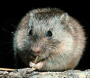 Prairie Vole Picture