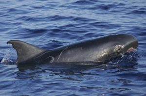 Photos of Pygmy Killer Whale