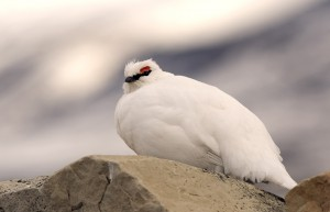 Rock Ptarmigan Picture