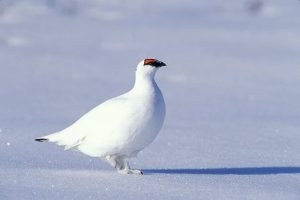 Images of Rock Ptarmigan