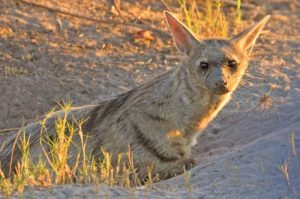 Images of Aardwolf
