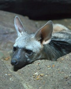 Pictures of Aardwolf