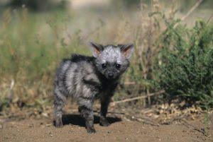 Aardwolf Pups Image