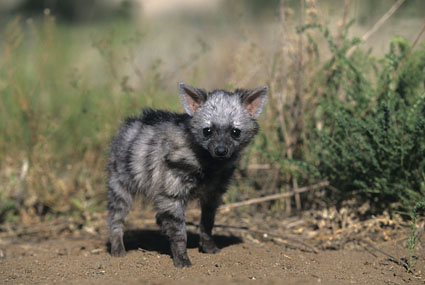 Aardwolf Wallpapers Aardwolf Pups Image