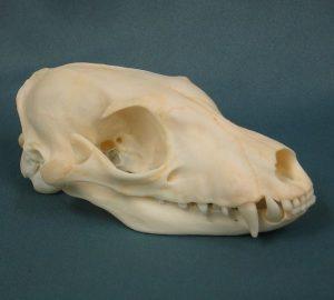 Aardwolf Skull Photo