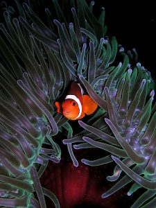Images of Anemonefish