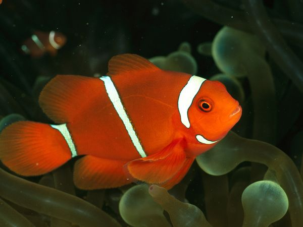 Anemonefish for What do clown fish eat