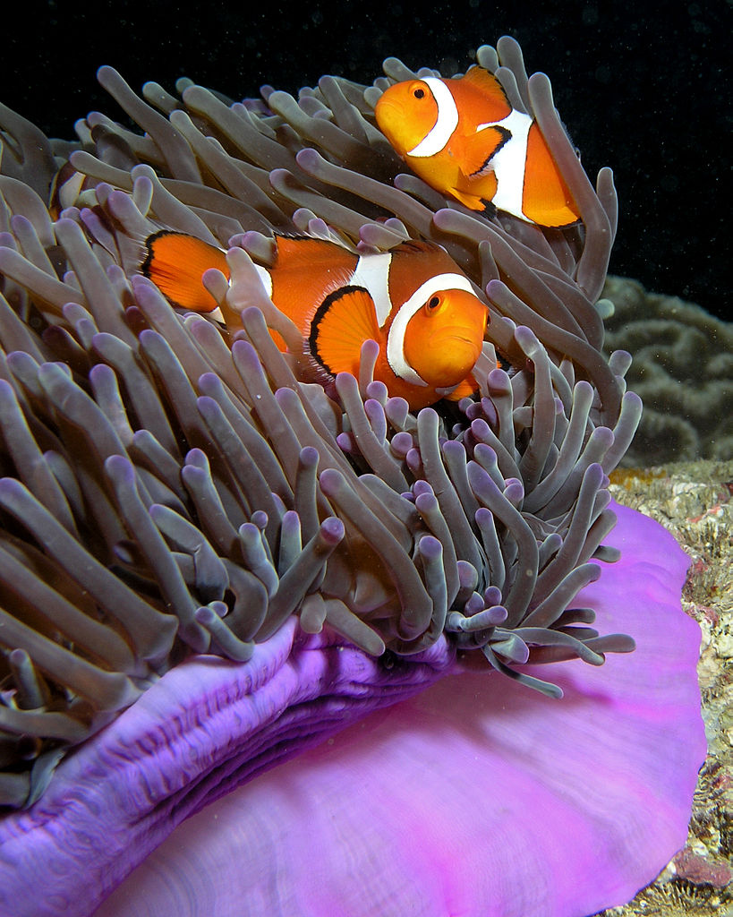 Anemonefish for Pictures of clown fish