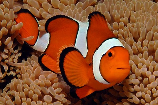 Anemonefish Pacific Ocean Underwater Animals