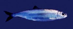 Atlantic Herring Picture