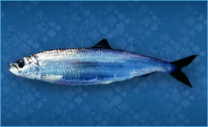 Pictures of Atlantic Herring