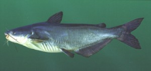 Blue Catfish Picture