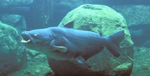Images of Blue Catfish