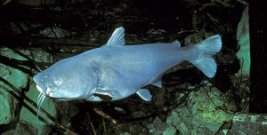 Photos of Blue Catfish