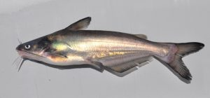Pictures of Blue Catfish