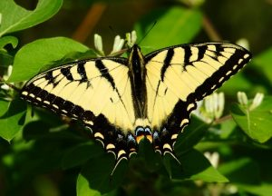 Eastern Tiger Swallowtail Picture