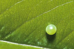 Eastern Tiger Swallowtail Egg Photo