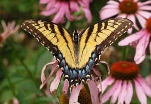 Images of Eastern Tiger Swallowtail