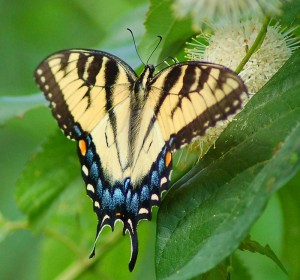 Photos of Eastern Tiger Swallowtail