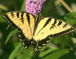 Pictures of Eastern Tiger Swallowtail