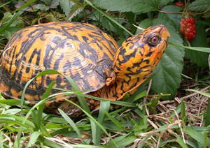 Images of Eastern box turtle