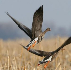 Flying Greater White-Fronted Goose Image