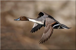 Flying Northern Pintail Image