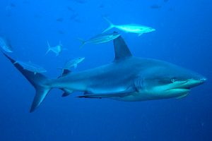 Images of Galapagos Shark